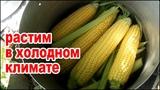 Как вырастить много кукурузы в холодном климате