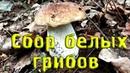 Сбор БЕЛЫХ грибов Слабонервным и заядлым грибникам НЕ СМОТРЕТЬ Funghi Porcini Boletus Edulis