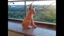 Кот Каракал ч 4 The Cat of the Caracal р 4 Amigurumi Crochet Амигуруми Игрушки крючком
