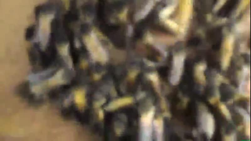 Как собирают пчел для своего улья 😨