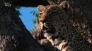 Nat Geo Wild - Царство леопардов