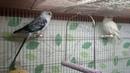 Певчие попугаи после купания