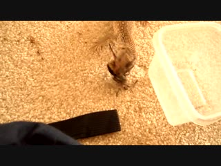 Детеныш капского варана против большого паука