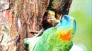 Birds | The beauty of the Taiwan barbet | Wild birds life