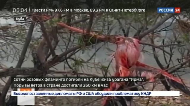Новости на Россия 24 • Сотни розовых фламинго погибли на Кубе из-за урагана Ирма