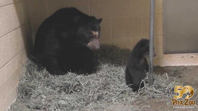 Andean Bear Cub Helps Mom Build a Nest