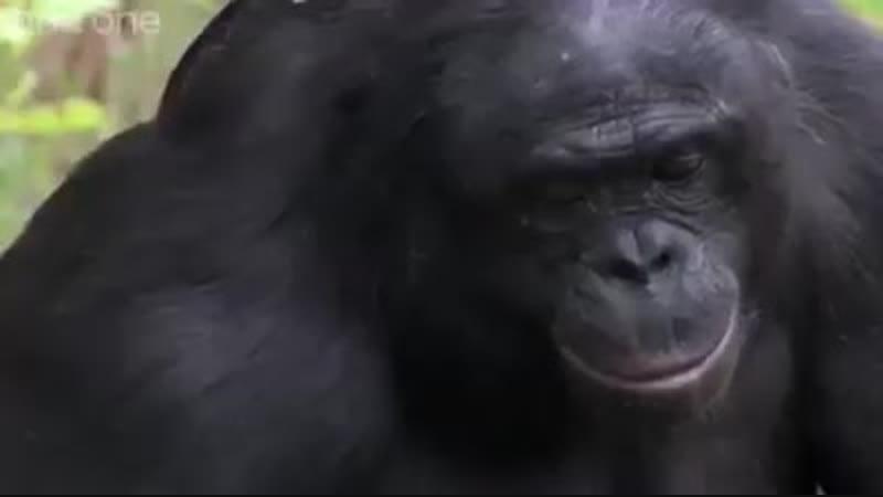 Знакомьтесь,это Канзи. Учёные приматологи его называют обезьяньим гением. Сам же Канзи считает себя человеком