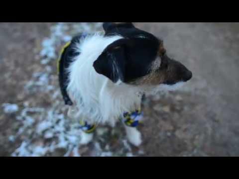 Джек рассел терьер и снег. Jack russell terrier and snow.