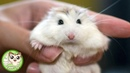 Funny Hamsters Videos 3 - Cute And Funniest Hamster 2019 ♥ Funny TV