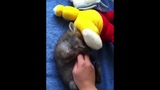 Baby fox loves belly rub