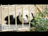 The blanket forces Panda baby Lan Meng to stay with it iPanda