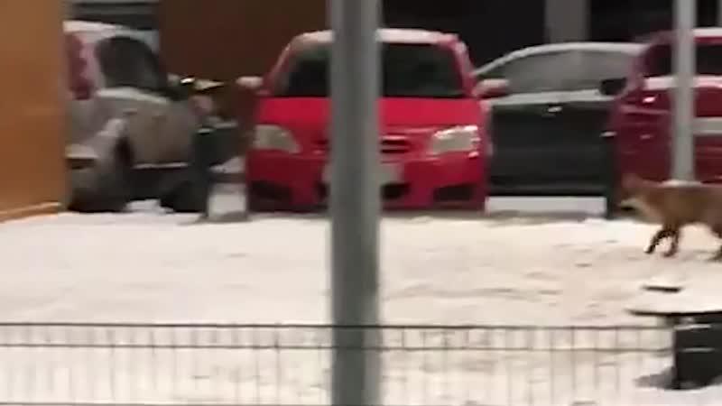 В Екатеринбурге лиса пришла поиграть на детской площадке — видео