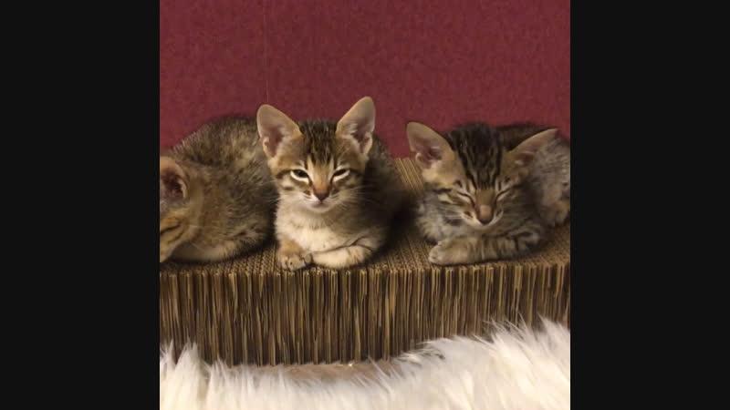 Саванна ф5 котята