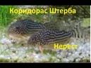 Коридорас Штерба. Corydoras sterbai