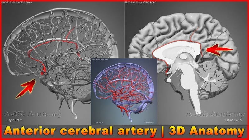 Anterior cerebral artery Arteries of head and neck 3D Human Anatomy Organs