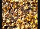 Видео-0006 Шуршание листвой, Опавшие листья, Ковер из листьев