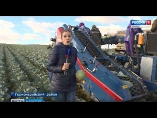 Время «рубить капусту» - в Марий Эл урожайный год!