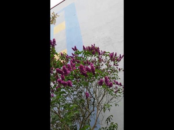 Сирень обыкновенная фиолетово цветущая.