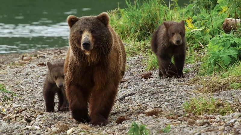 Kamchatka Bears, life begins - Trailer