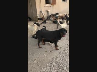 Джаконда - вторая сука из Кипра