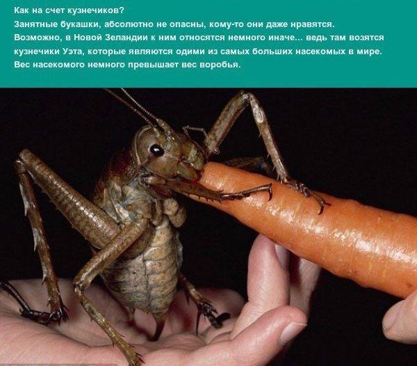 Самые большие насекомые Человек привык считать, что насекомые достаточно мелкие представители фауны. Тем не менее, рекордсмены есть и среди них это и тяжёлые бабочки, и большие пауки, и