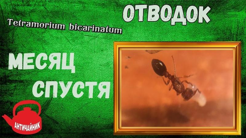 ЧТО СЛУЧИЛОСЬ С ОТВОДКОМ?!/Tetramorium bicarinatum