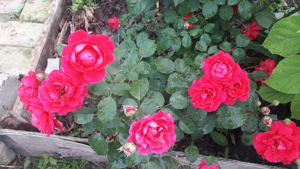 От подписчицы Алевтины Гузановой Хочу похвастаться мои розы второй год.)))