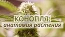 КОНОПЛЯ - Анатомия растения, строение, из чего состоит канабис? [ Errors Seeds ]