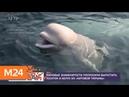 Мировые знаменитости попросили выпустить косаток и белух из китовой тюрьмы Москва 24