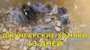 Джунгарские хомяки - 13 дней