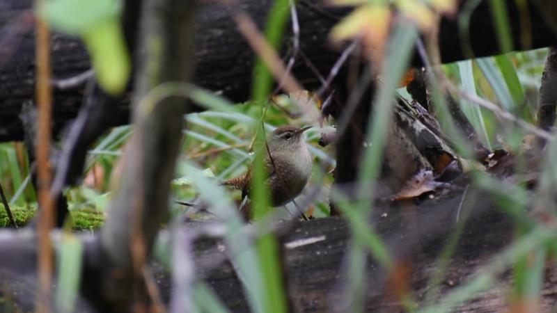 Орешек или крапивник