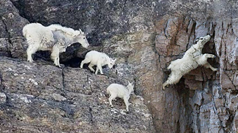 GOATS CLIMBING ON A 160 FOOT TALL DAM IN ITALY Discovery Animal Planet