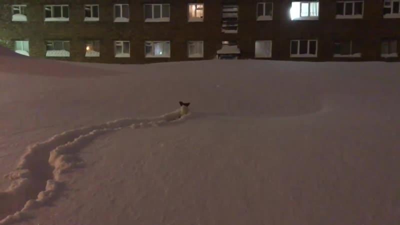 Джек Рассел тонет в снежных сугробах Воркуты