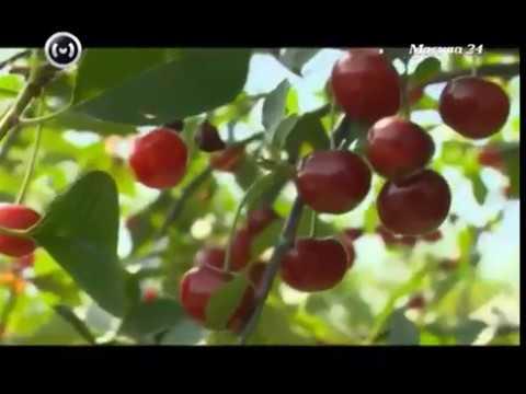 Описание сортов Вишни от Института Садоводства