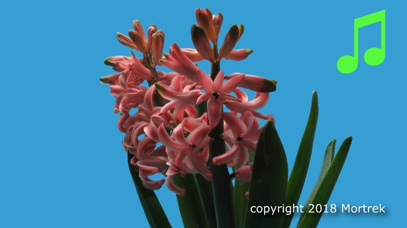 Time Lapse of a Hyacinth Blooming and Wilting