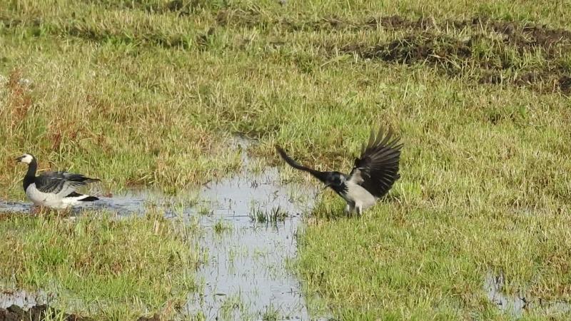 Белощёкая казарка (Branta leucopsis) возмущается поведением серой вороны (Corvus cornix).