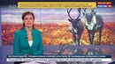 Новости на Россия 24 Ямальская оленина покоряет Германию