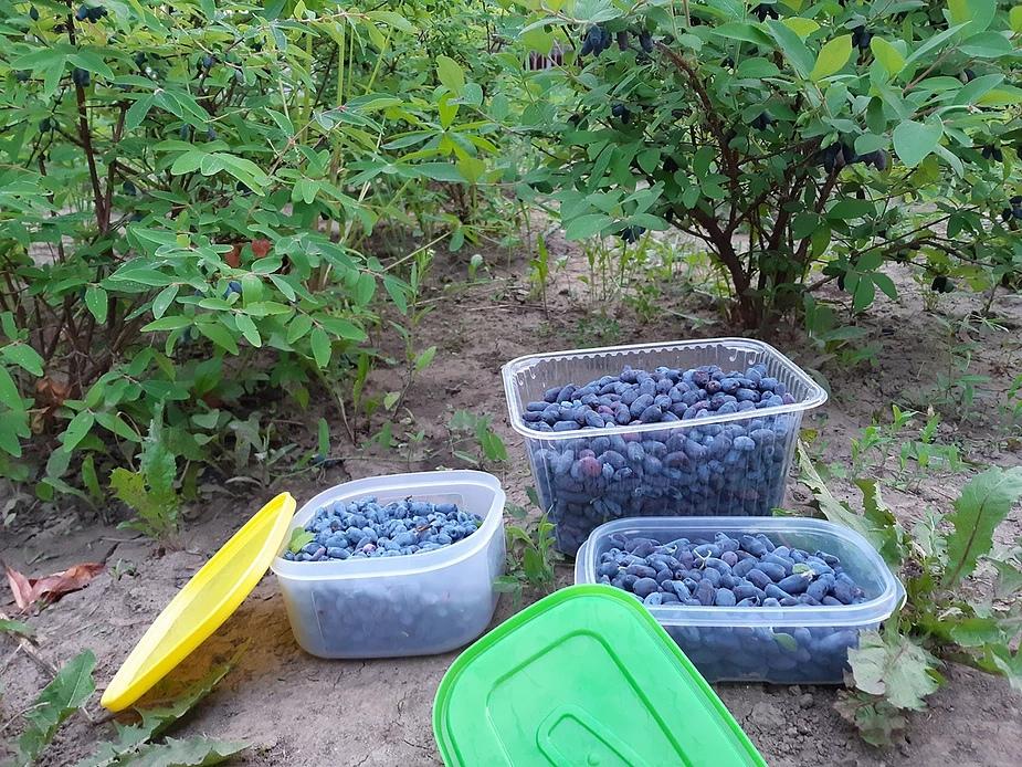 Жимолость на дачном участке: разновидности и особенности выращивания растения