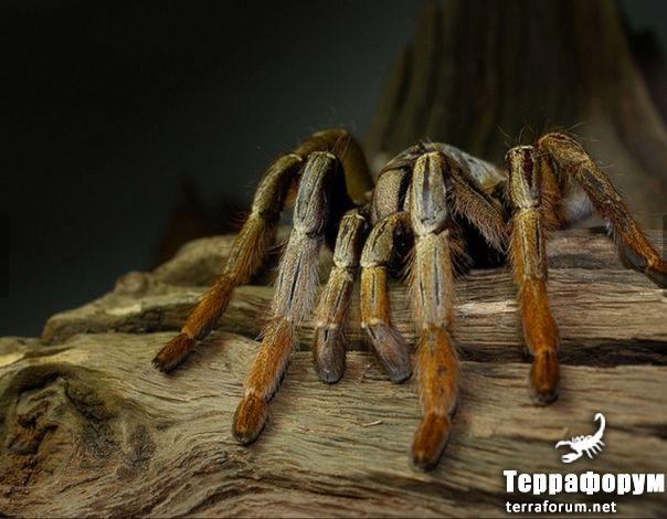 Augacephalus-breyeri