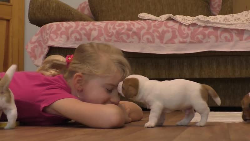 Щенки Джек рассел терьера 4 недели Jack Russell Terrier puppies