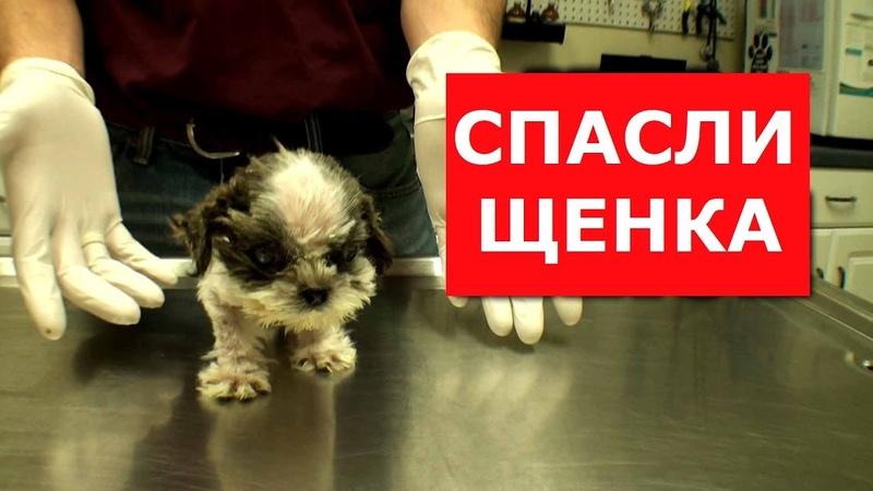 Забрали щенков Ши-тцу у заводчика.Спасти удалось только одного.Ветеринарное ранчо