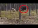 Вымерший 16,000 лет назад гигантский волк напал на собаку