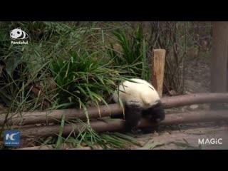 Панда и трудные задачи