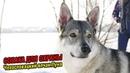 Чехословацкий влчак Луна   Собака для охраны