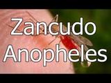 El Zancudo Anopheles - mosquito de la familia Culicidae