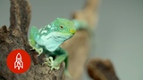 A Threatened National Treasure The Fiji Banded Iguana Morphs for Survival