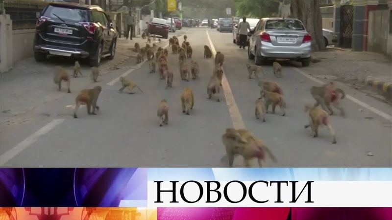 Правительственные здания в Дели захватили многочисленные банды обезьян.