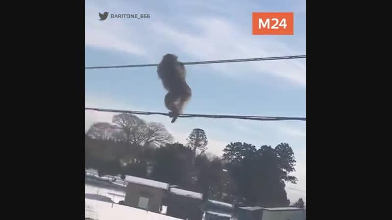 Кадры из Японии. Банда бесстрашных обезьян ходит по проводам, как по лианам.