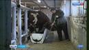 Финские быки осваиваются на карельском племпредприятии