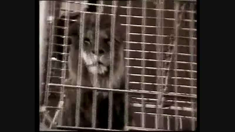 Превращение А.Пугачёвой во льва